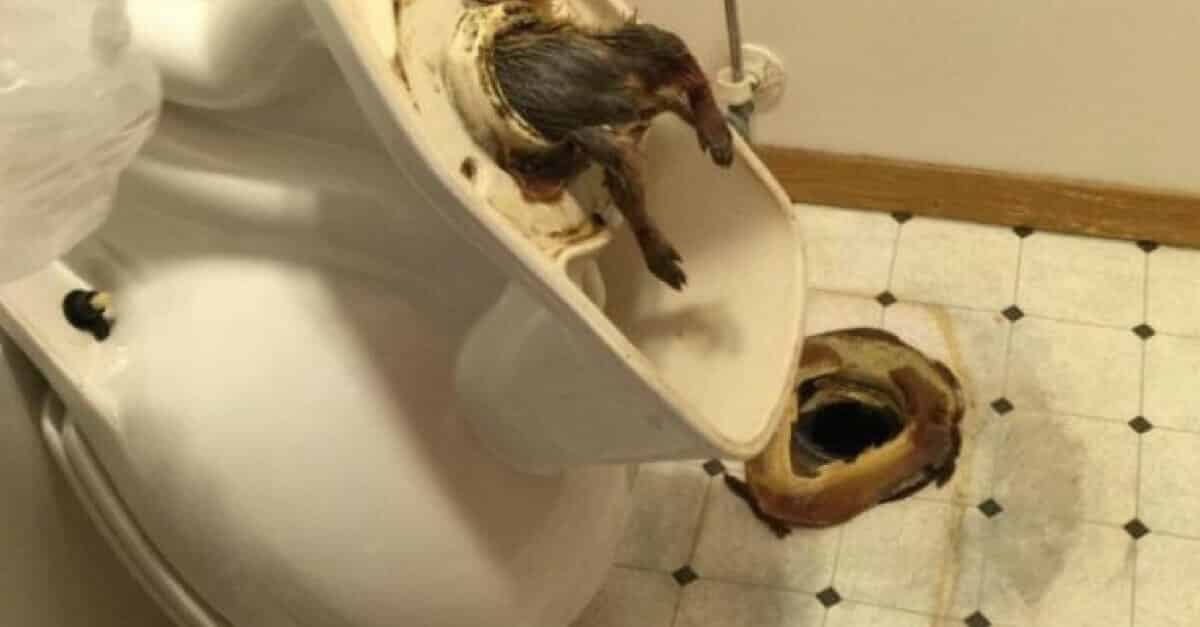 ¡Ratones en el inodoro! Evite que estos animales suban por