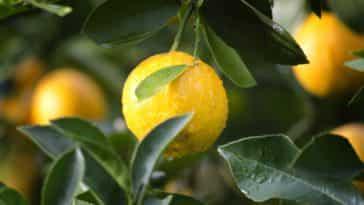 Planta, hojas de limón