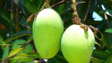 mangos-verdes