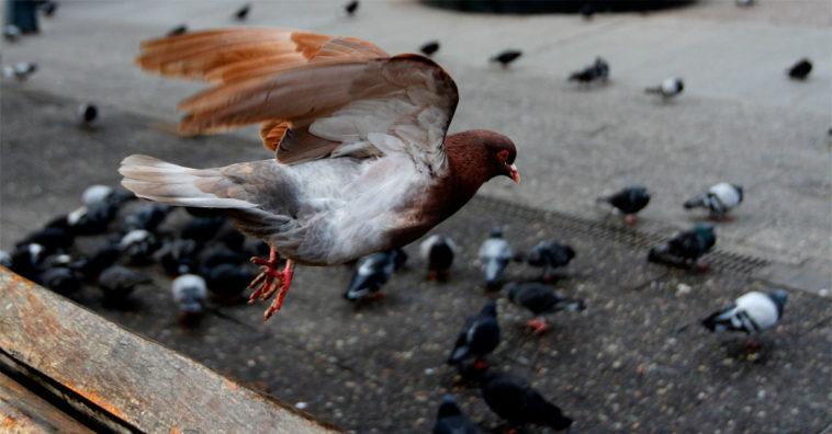 Resultado de imagen para enfermedades de las palomas