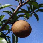 Beneficios de las hojas de níspero