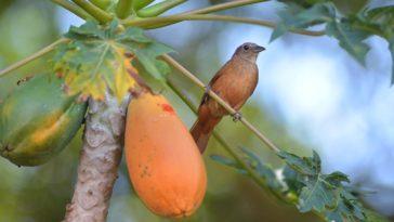 Beneficios de las hojas de papaya
