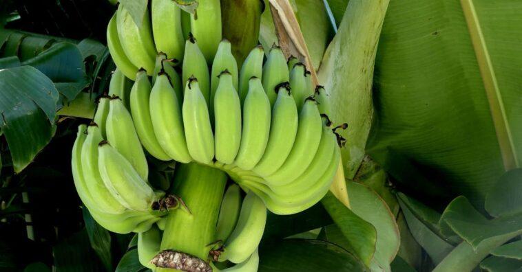 saba banana bueno para la diabetes