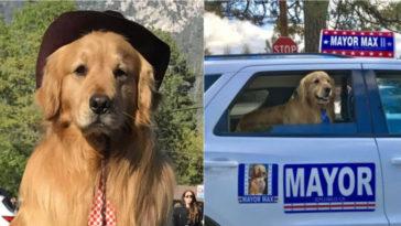 Nombran a un Golden Retriever nuevo alcalde