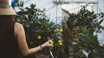 plantar limon en una taza